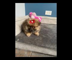 4 Pomeranian puppies needing new home