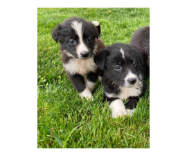 8 weeks old Border Collie puppies for sale
