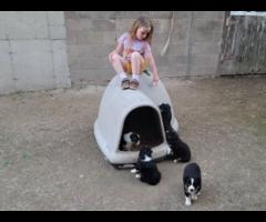 Black and White Tri ASDR Aussie Puppies