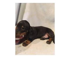Black and Tan healthy mini dachshund puppy