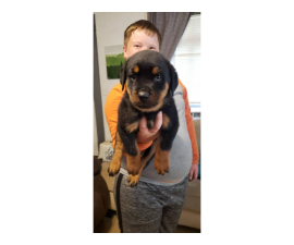 Full blooded German Rottweiler puppies for sale