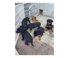 8 Rottweiler puppies needing good home