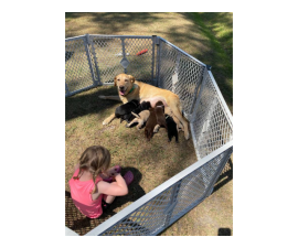 7 AKC Lab Puppies for Sale
