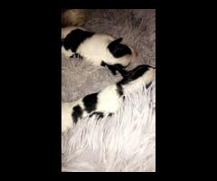 Chihuahua Terrier pups
