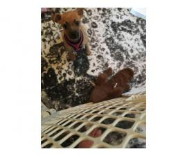 3 month old Chihuahua female puppy for sale