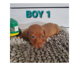 2 boy and 1 girl dachshund puppies for sale