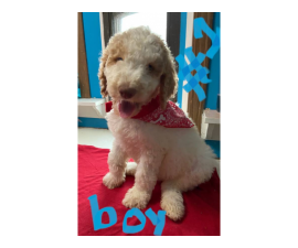 4 Standard poodles available