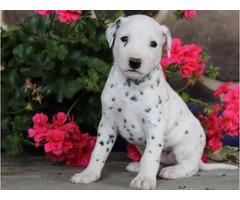 4 Registered male Dalmatian Puppies
