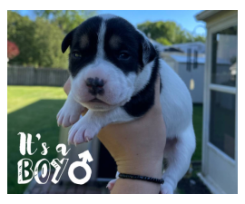 5 Beautiful Border Pit Puppies for Sale