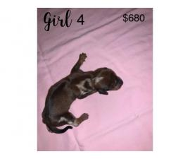 4 female and 2 male Fullblooded Dachshund Puppies for Sale