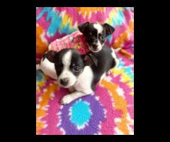 2 purebred micro Chihuahua puppies for salesman