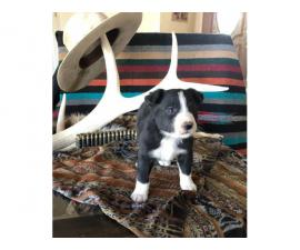 Four male border collie puppies in need of a good home