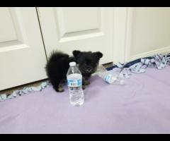 3 female Pomeranians for sale