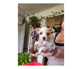 Chihuahua puppies 3 white and 1 black