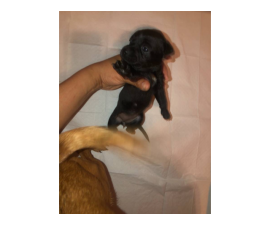 Toy Chihuahua puppies looking for forever homes