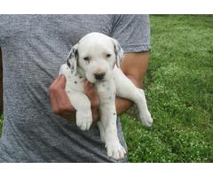 ACA registered Dalmatian puppy