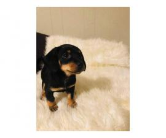 6 Dachshund puppies 8 weeks old