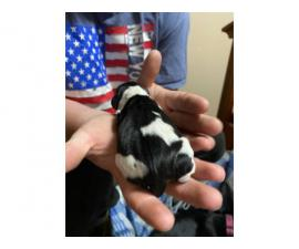 Purebred miniature dachshunds for sale