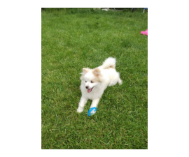 5 month old pomsky puppy for sale