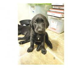 AKC Full Black Lab Puppies for sale