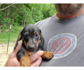 2 mini dachshund puppies looking for a great home