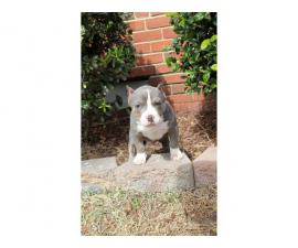 3-4 Months APBT puppies ready to leave