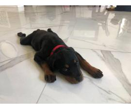 Fully AKC Registered Rottweiler Puppy for Sale