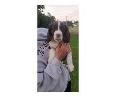 AKC Registered Female English Springer Spaniel Puppies