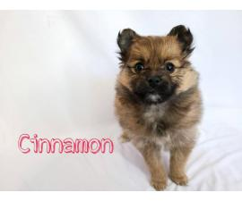 Full breed Pomeranian puppies for sale
