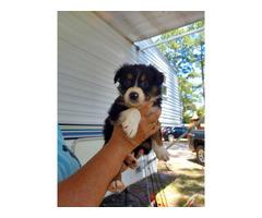Black Tri Australian Shepherd Puppies for Sale