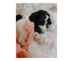 Standard AKC Parti Poodle Puppies for Sale