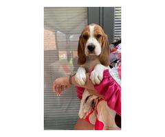 5 top quality cute female AKC beagle puppies