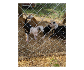 7 Male American Pit Bull Puppies for Sale