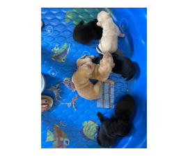 Yellow and black AKC Lab puppies for sale