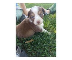3 boys and 6 girls AKC Australian Shepherd puppies