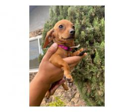 Beautiful 2 months old Doxie puppies for sale