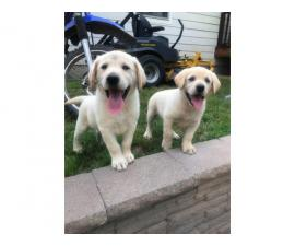 3 Yellow Lab Puppies Available