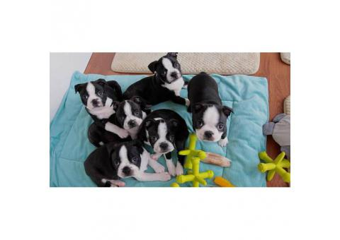 Gorgeous Boston terrier puppies males and females