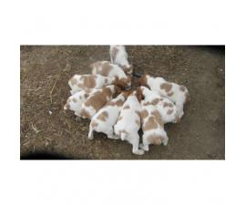 12 Brittany puppies to rehome