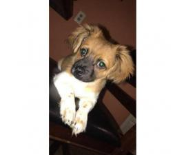 Male POMCHI puppy for Sale