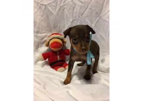 Miniature Pinscher Puppies $400