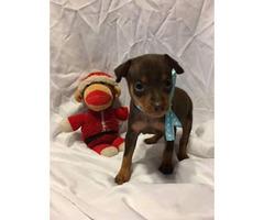 Miniature Pinscher Puppies $400