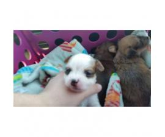 3 Shichi Shih szu chihuahua mix puppies Babies Available