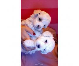 Poodle Puppies Hypoallergenic breed