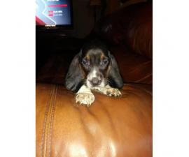 2 females 4 males basset hound puppies