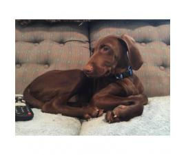 Looking to rehome my Vizsla puppy 12 weeks old