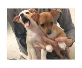 Litter of four Chihuahua puppies, 2 girls available