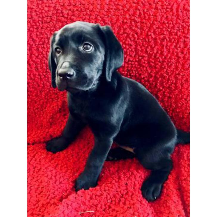1 Female And 1 Male English Lab Pups For Sale In Martinsburg West