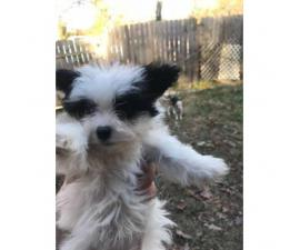 8 week old maltese papillon mix puppies for adoption