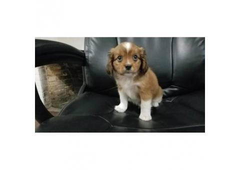 3 very cute CavaPom puppies for rehoming